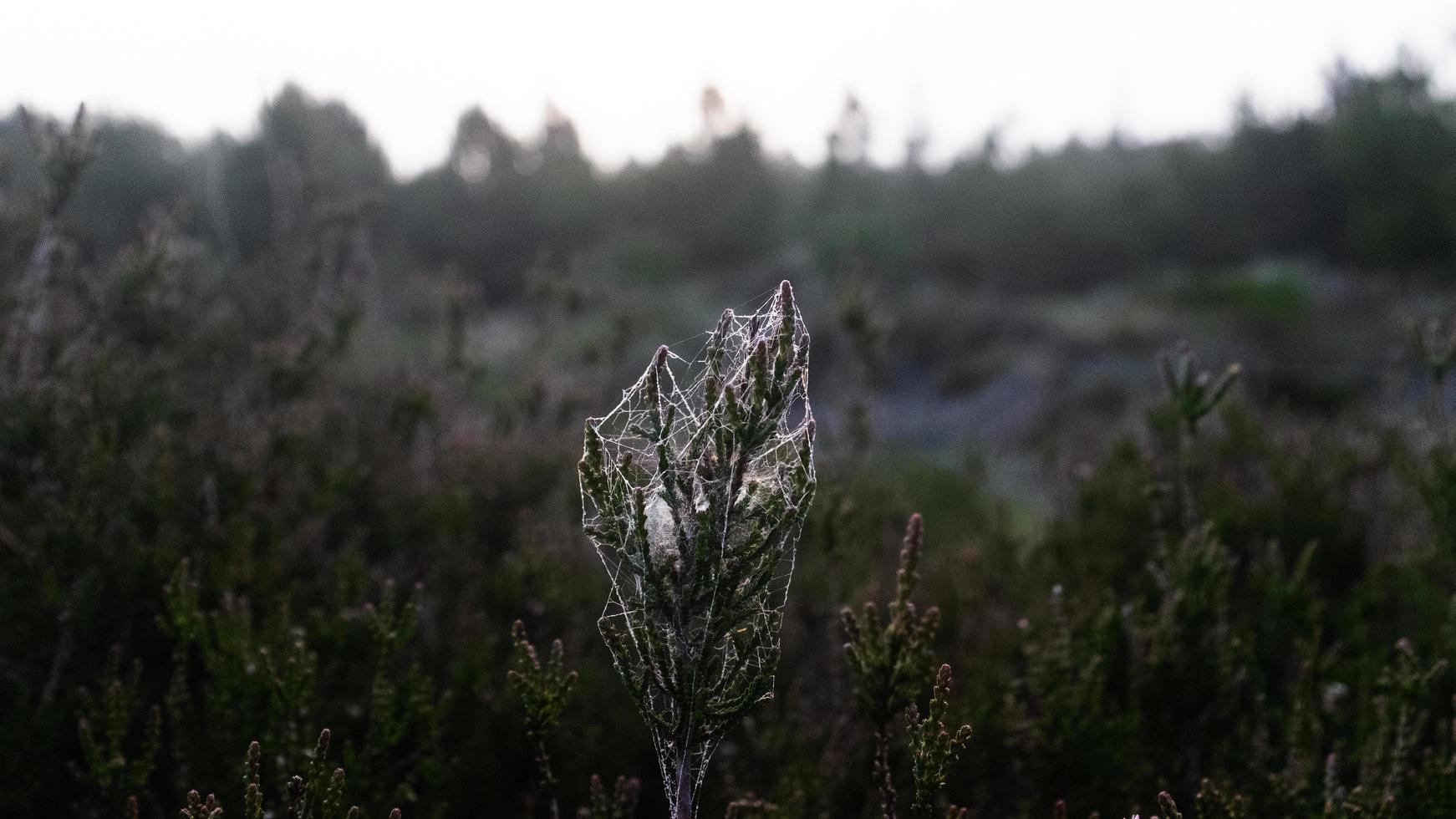 Pflanze mit Spinnweben foto