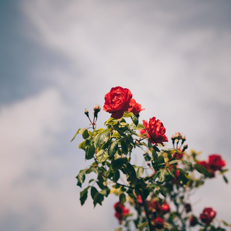 rote Rose in voller Blüte foto
