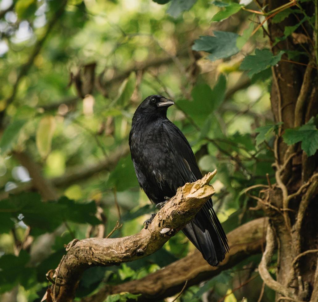 schwarzer Vogel auf Ast foto