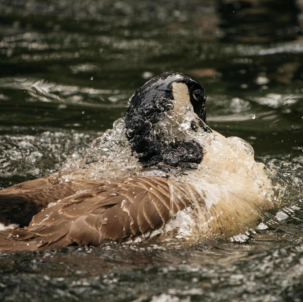 braune Ente auf Wasser foto