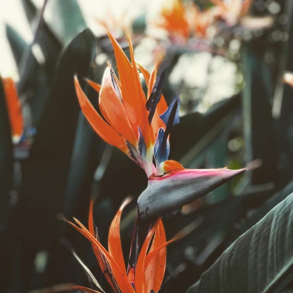 Paradiesvögel blühen foto