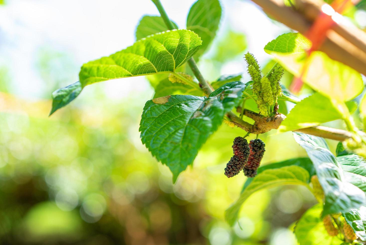 Bio-Maulbeerfrucht auf einem Baum foto