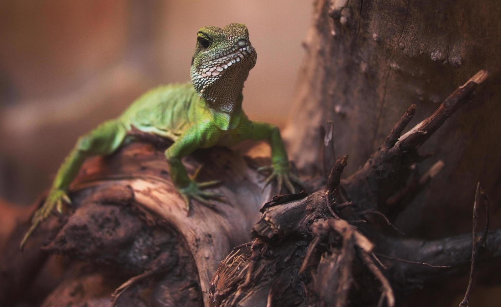 Nahaufnahme des grünen bärtigen Drachen foto
