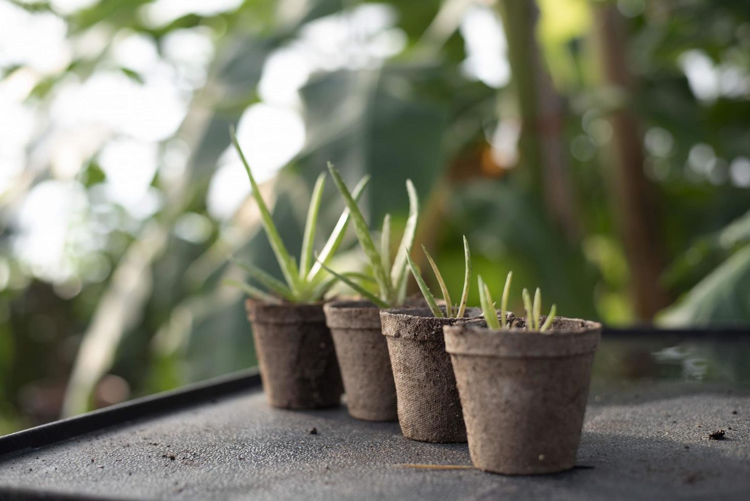 Pflanzen in Töpfen im Gewächshaus foto