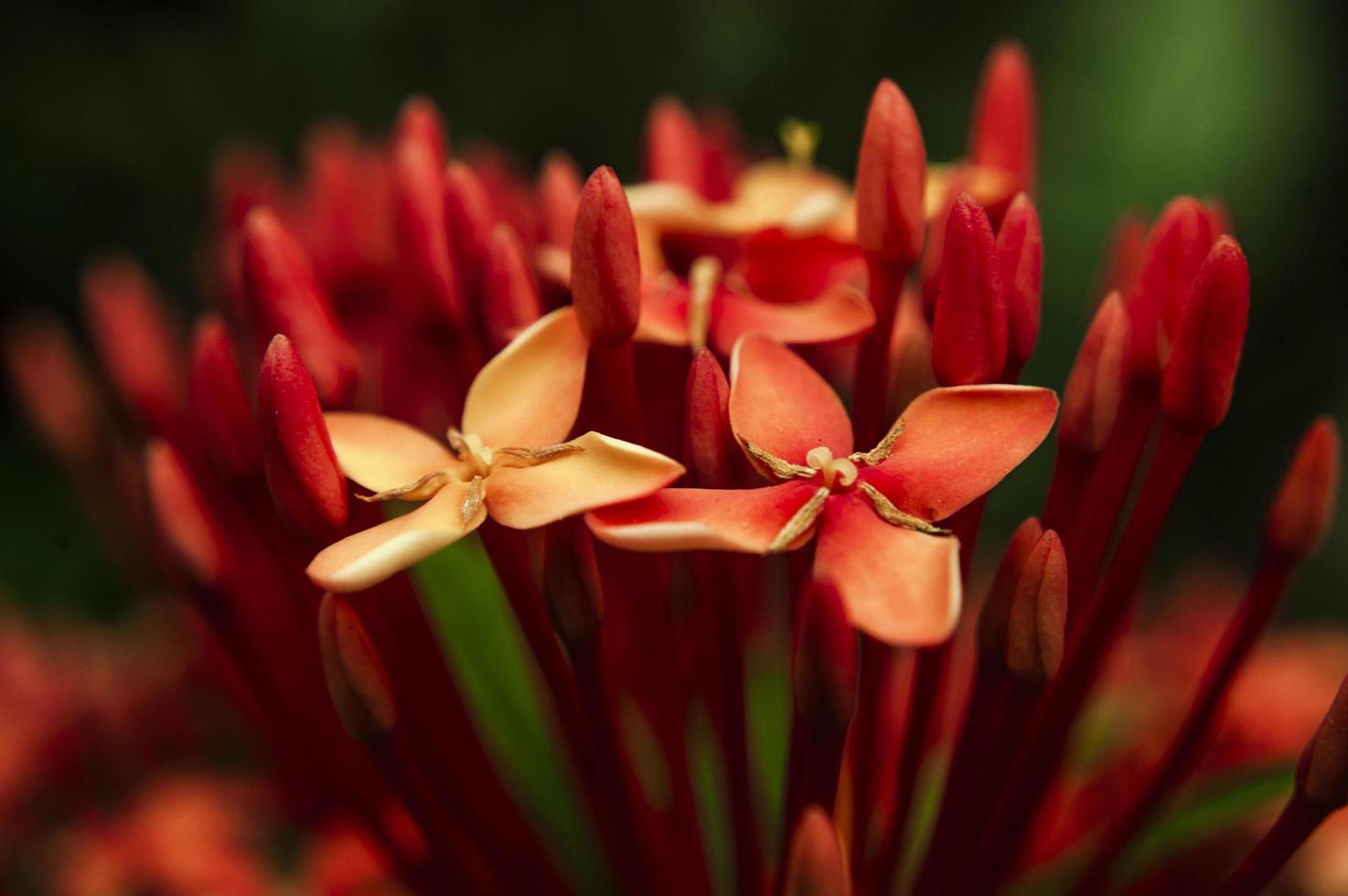 rote Blütenblätter foto