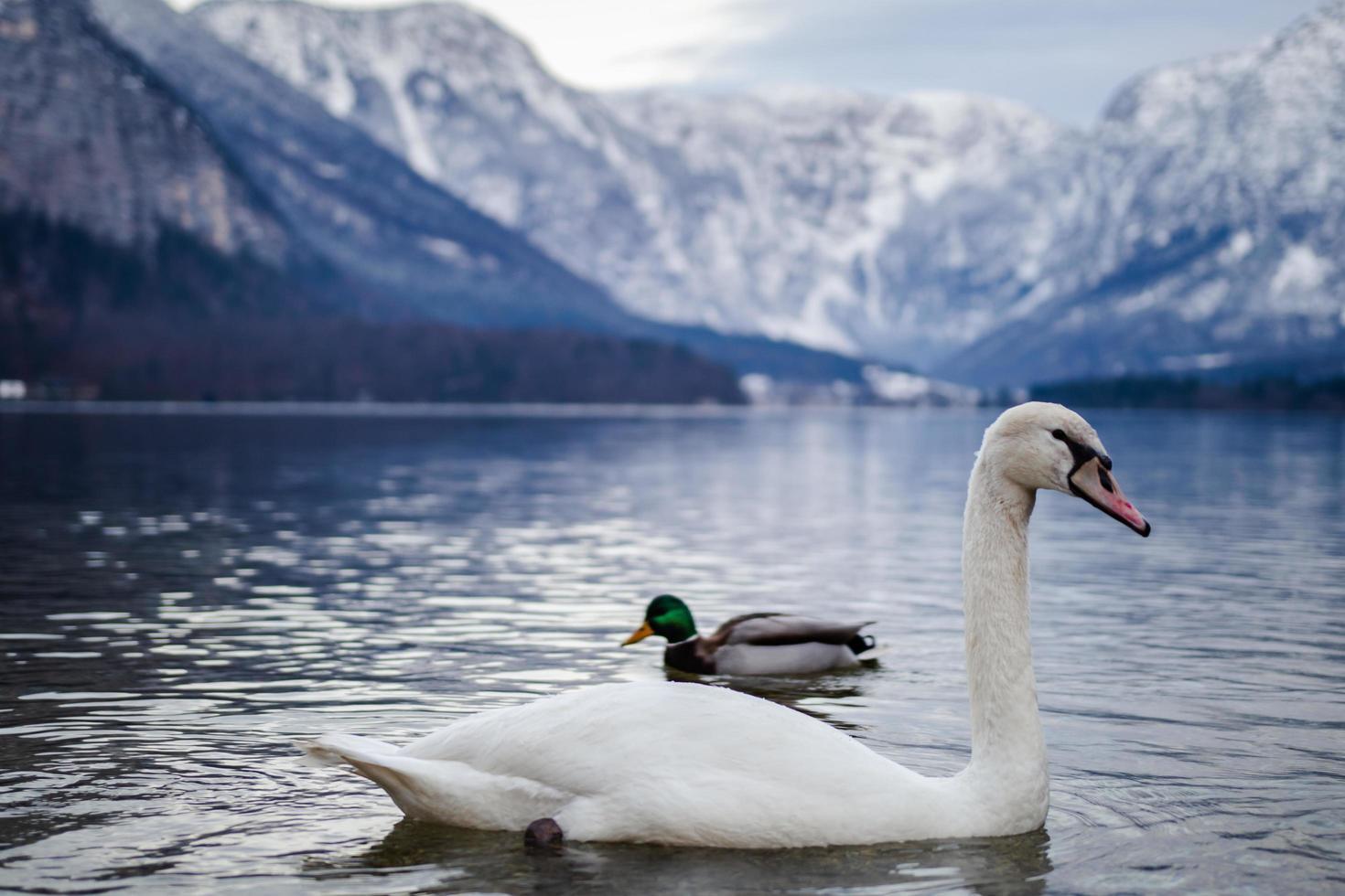 weißer Schwan am See foto