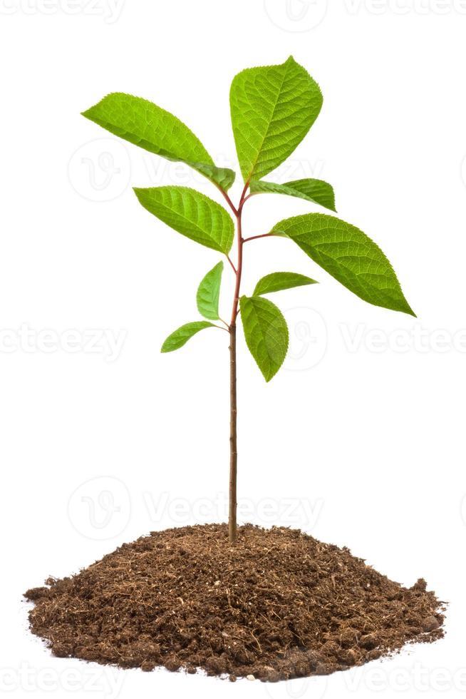 grüner Schössling des Vogelkirschbaums foto