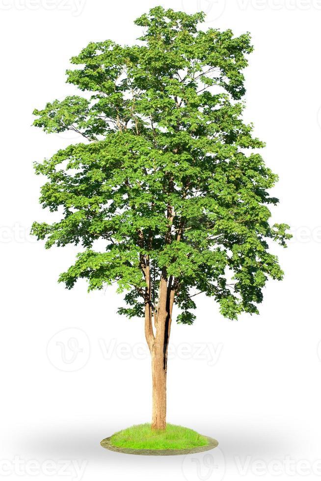 Ahornbaum lokalisiert auf Weiß foto