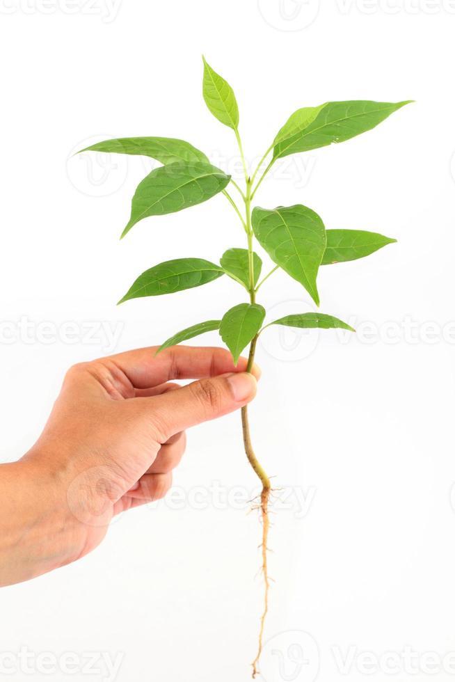 Hand, die Babypflanze auf Weiß hält foto
