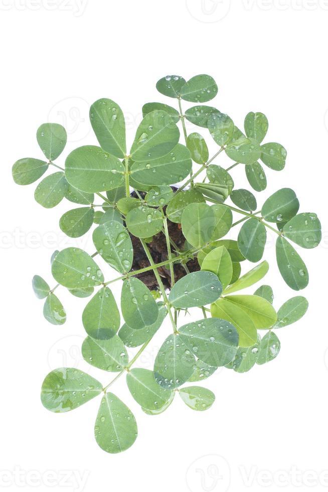 Erdnusspflanzen foto