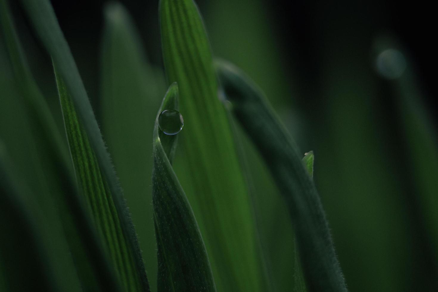 Wassertau auf einem grünen Blatt. foto