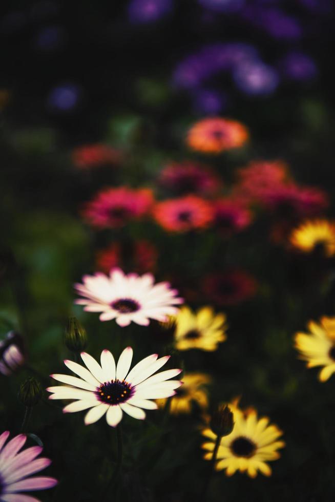 bunte Gänseblümchenblumen foto