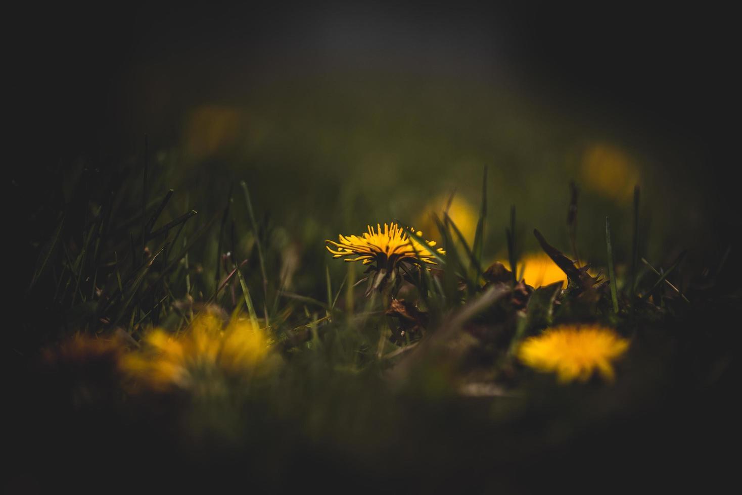 gelber Löwenzahn im dunklen Feld foto