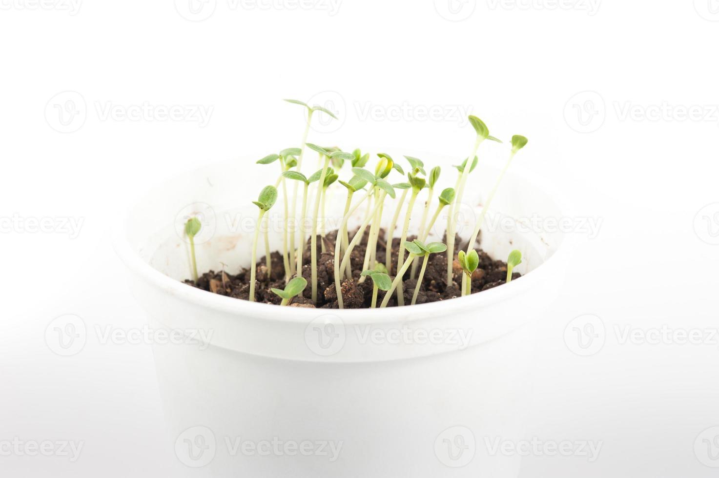 Nahaufnahme des Wachstums des grünen Sämlings foto