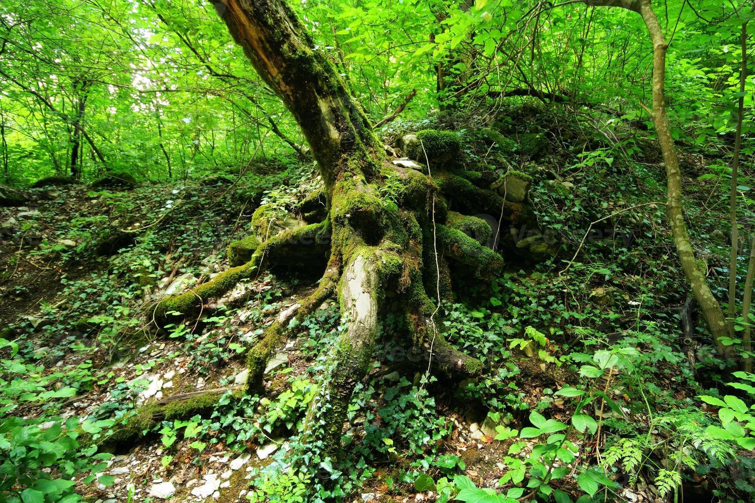 Bild der Baumwurzeln im Regenwald foto