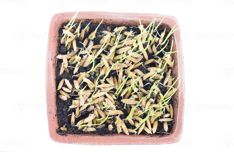 Nahaufnahme des grünen Reissämlings foto