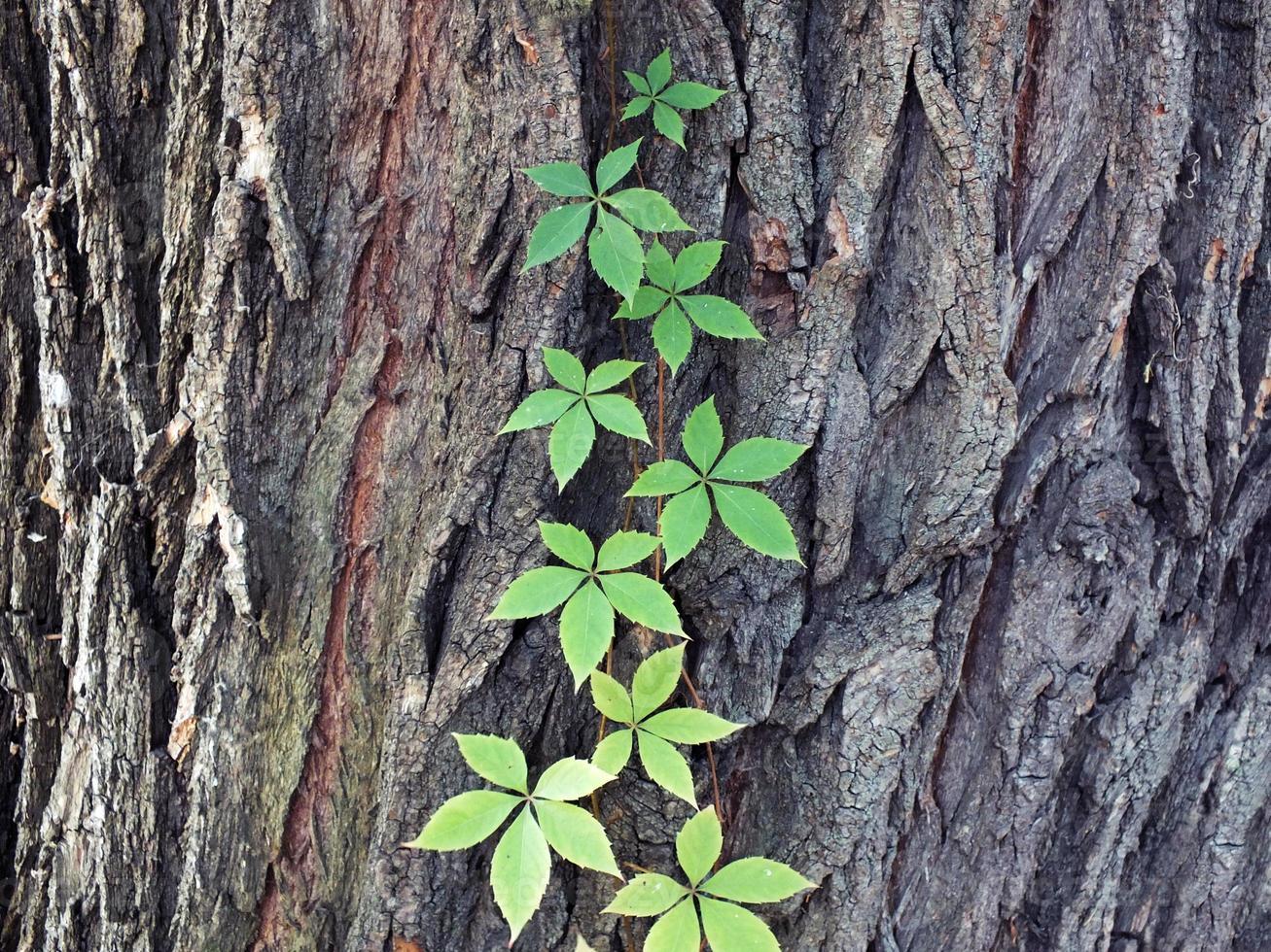 Kriechpflanze foto