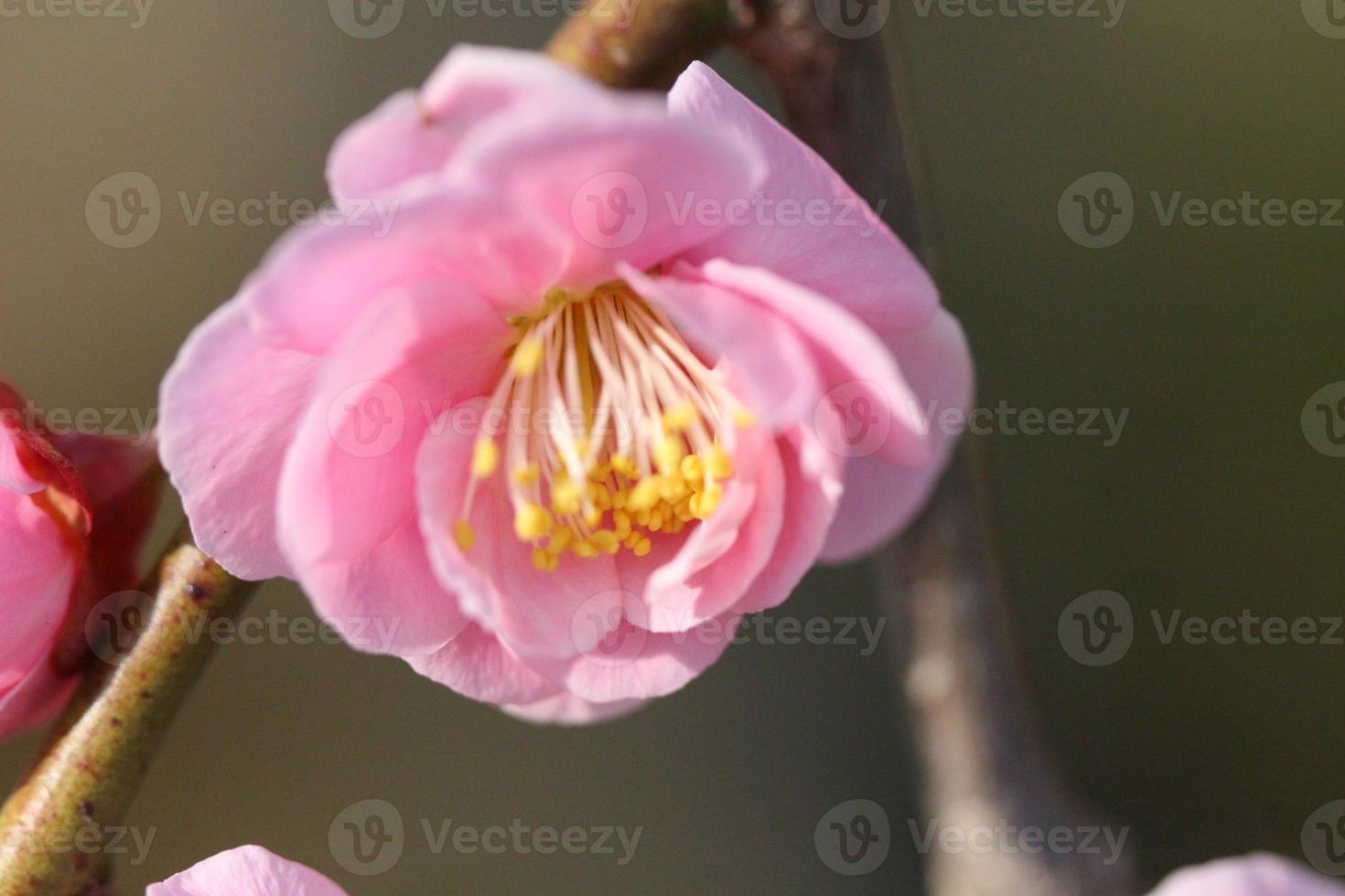 Kirschblüte foto