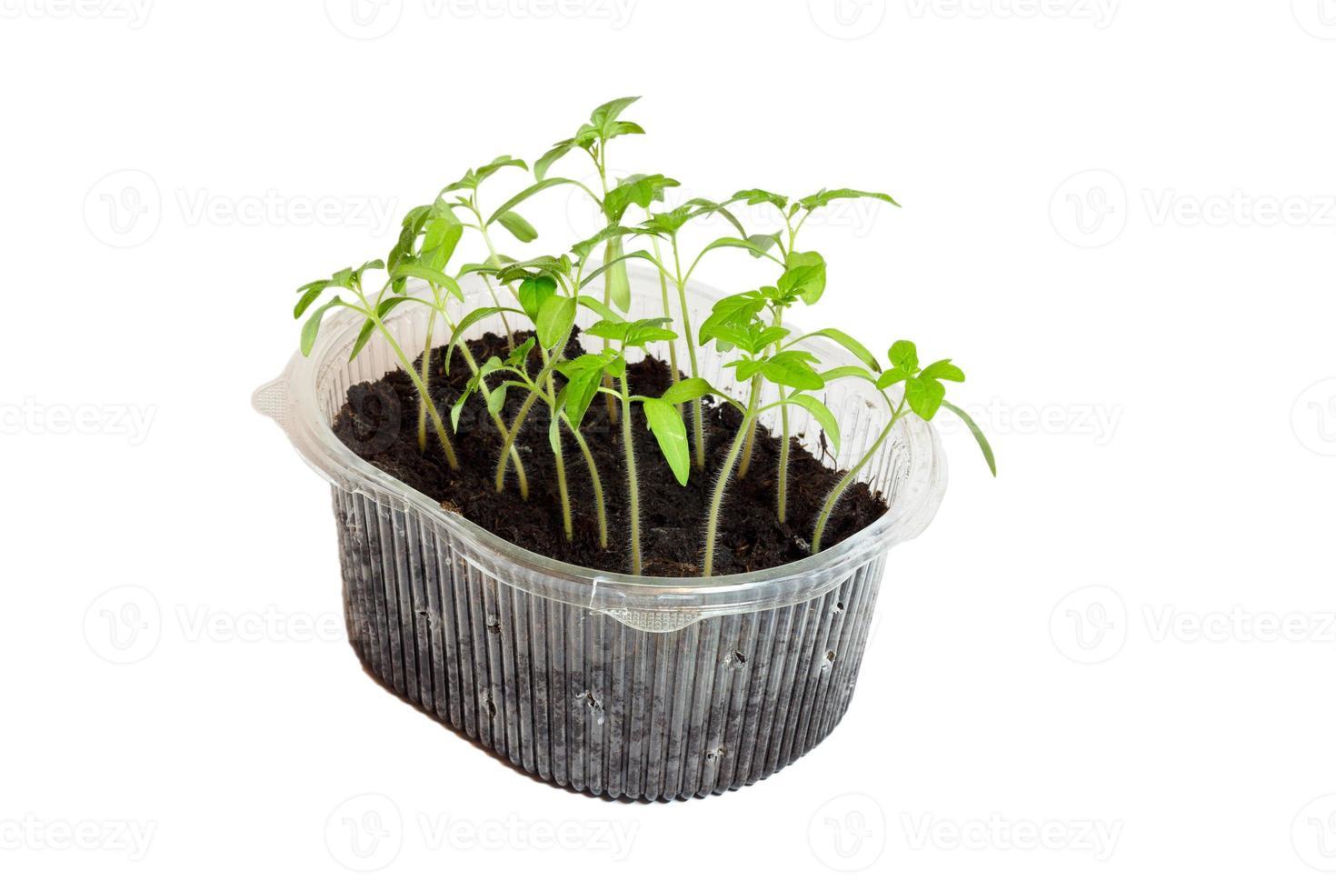 Sämlinge von Tomaten in der Box. foto