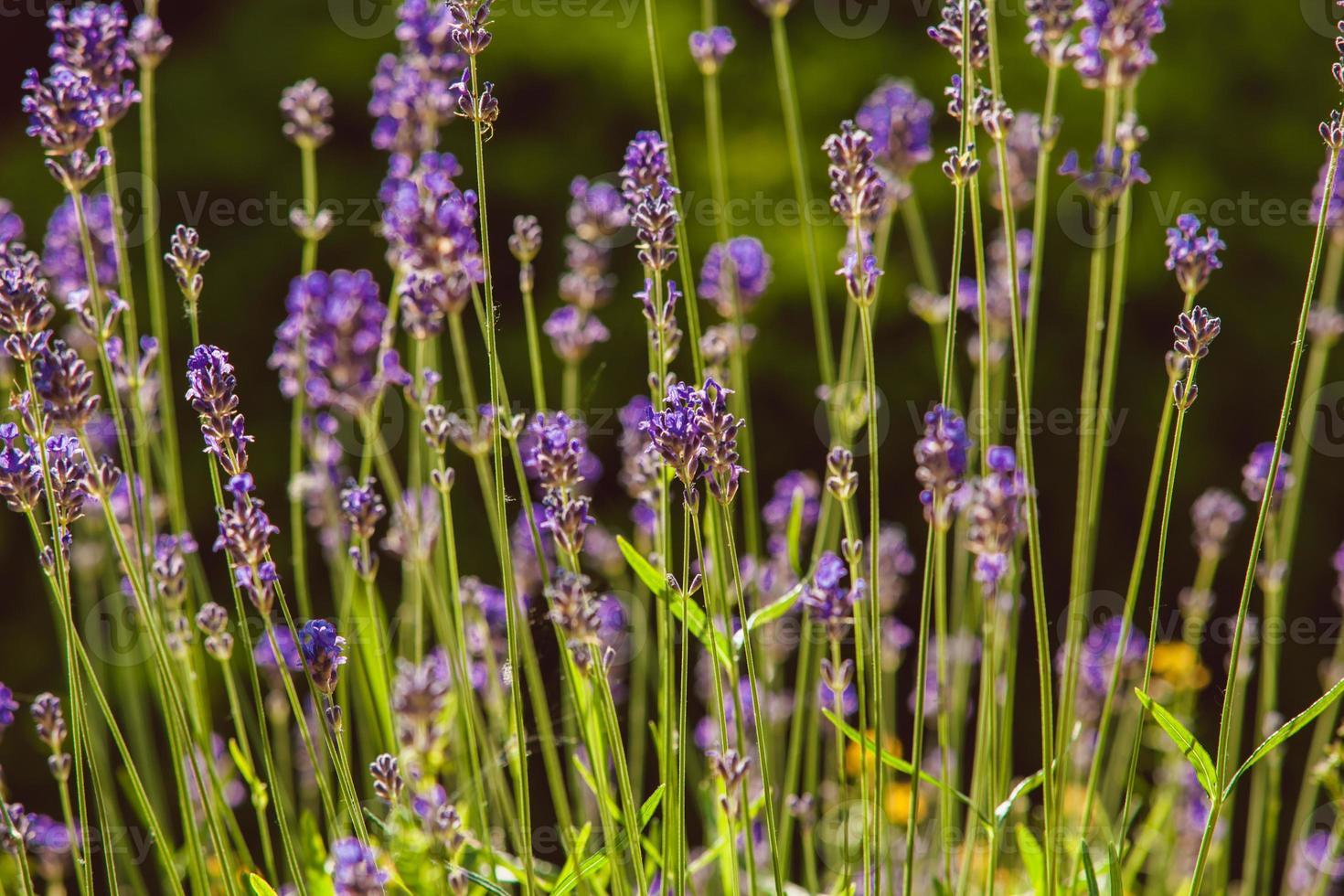 Lavendel auf Steingarten foto