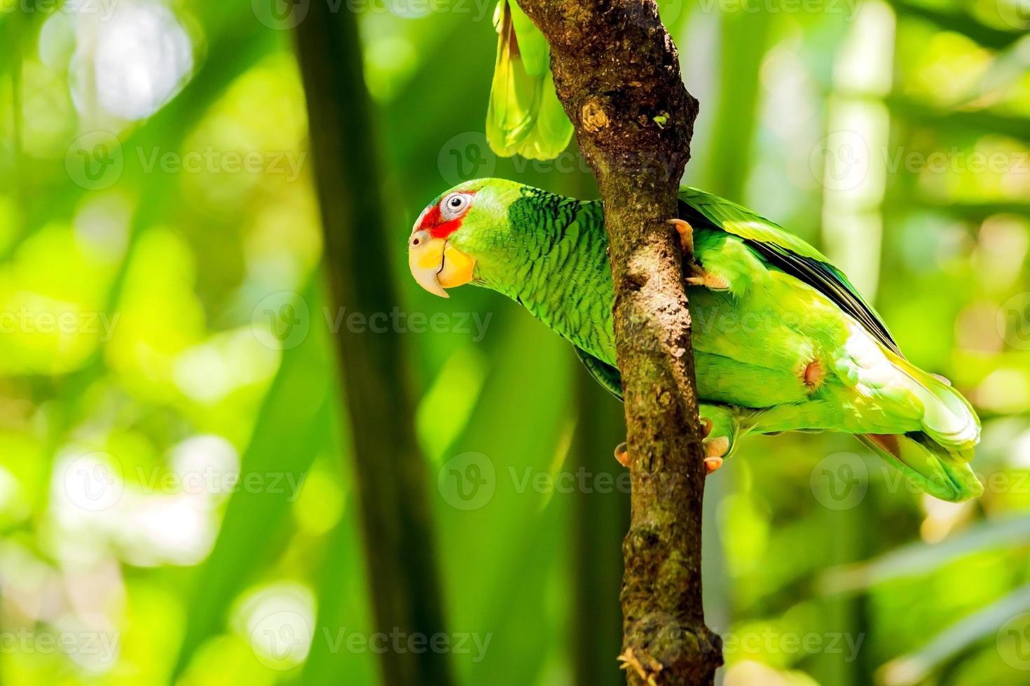 Porträt eines Papageien mit weißer Front foto