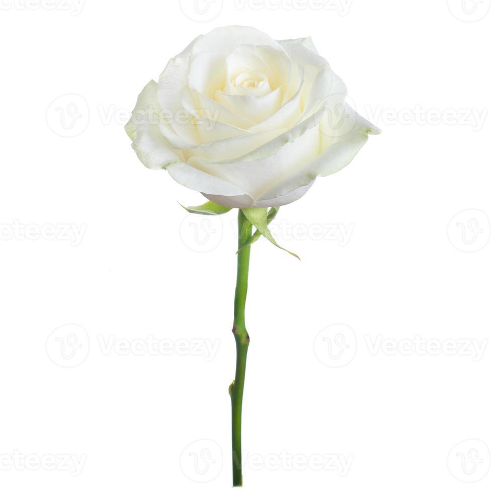 einzelne weiße Rose foto