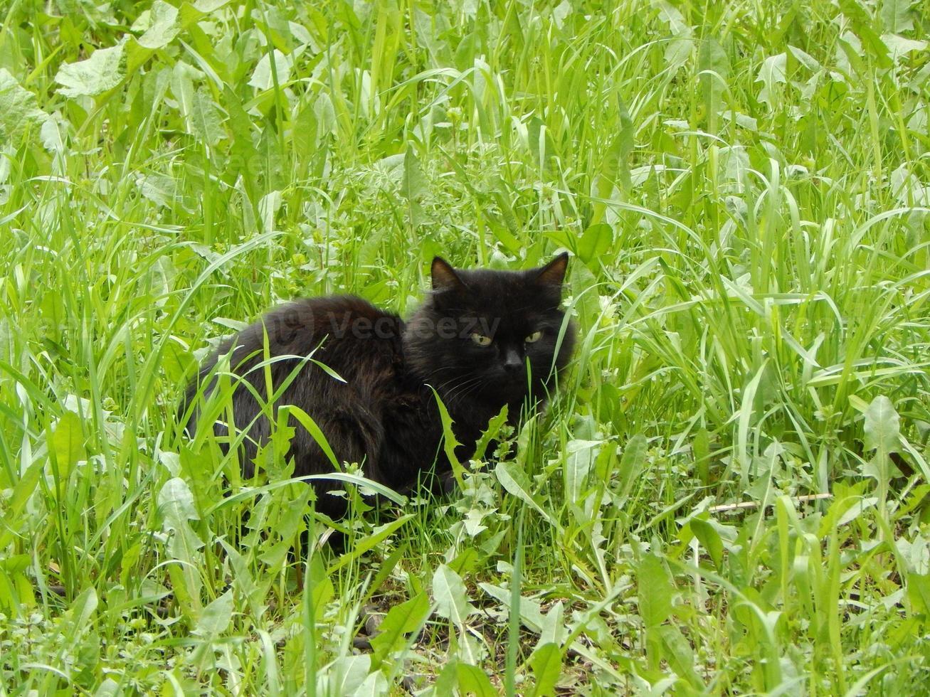 schwarze Katze, die sich im grünen Gras versteckt. foto