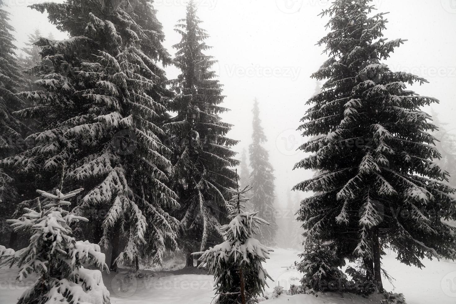 Fichtennebelwald bedeckt von Schnee in der Winterlandschaft. foto