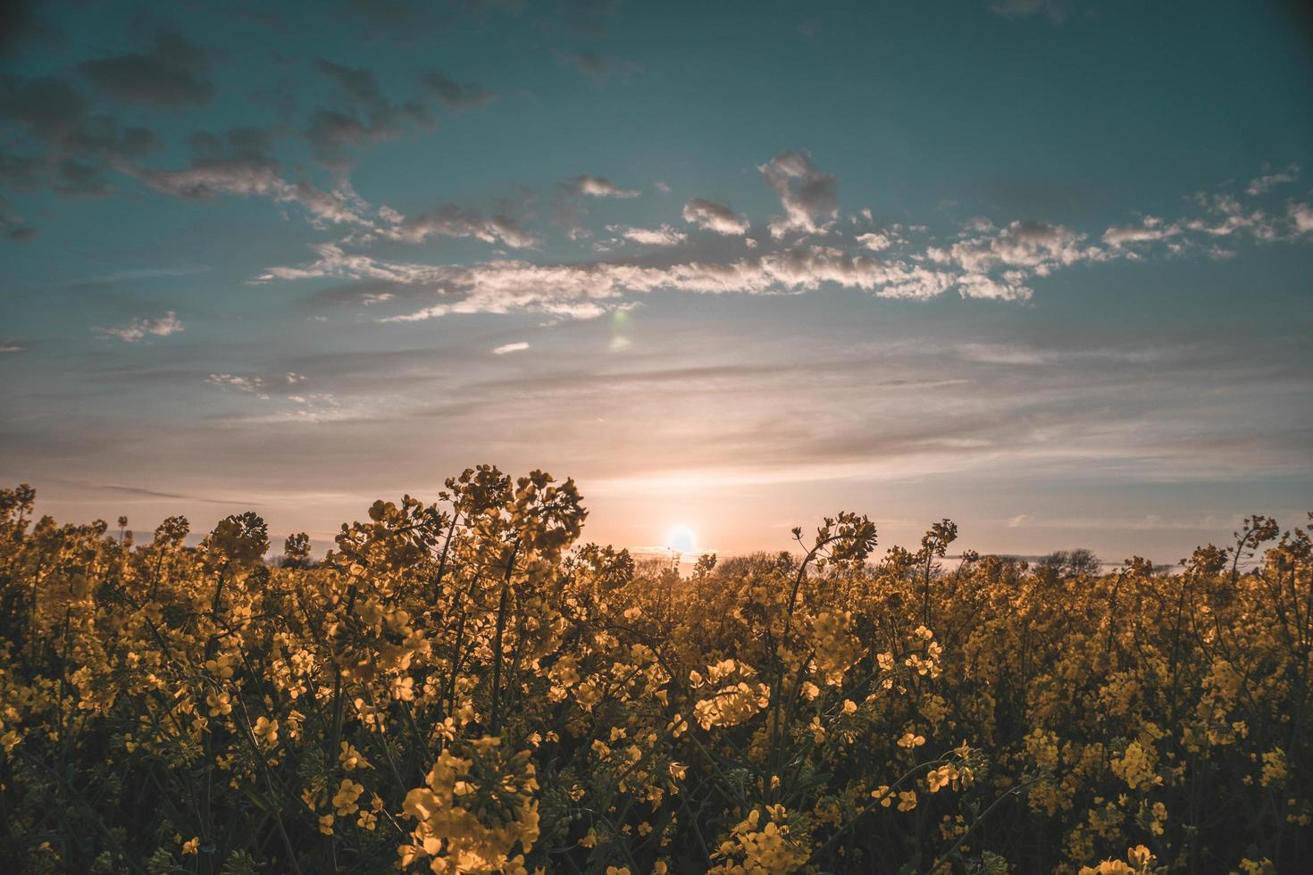 gelbes Blumenfeld bei Sonnenuntergang foto