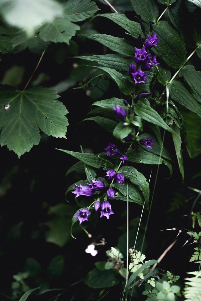 Nahaufnahme von lila Glockenblumen foto