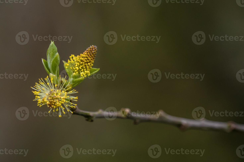 flauschiger Samen, der im Frühling blüht foto