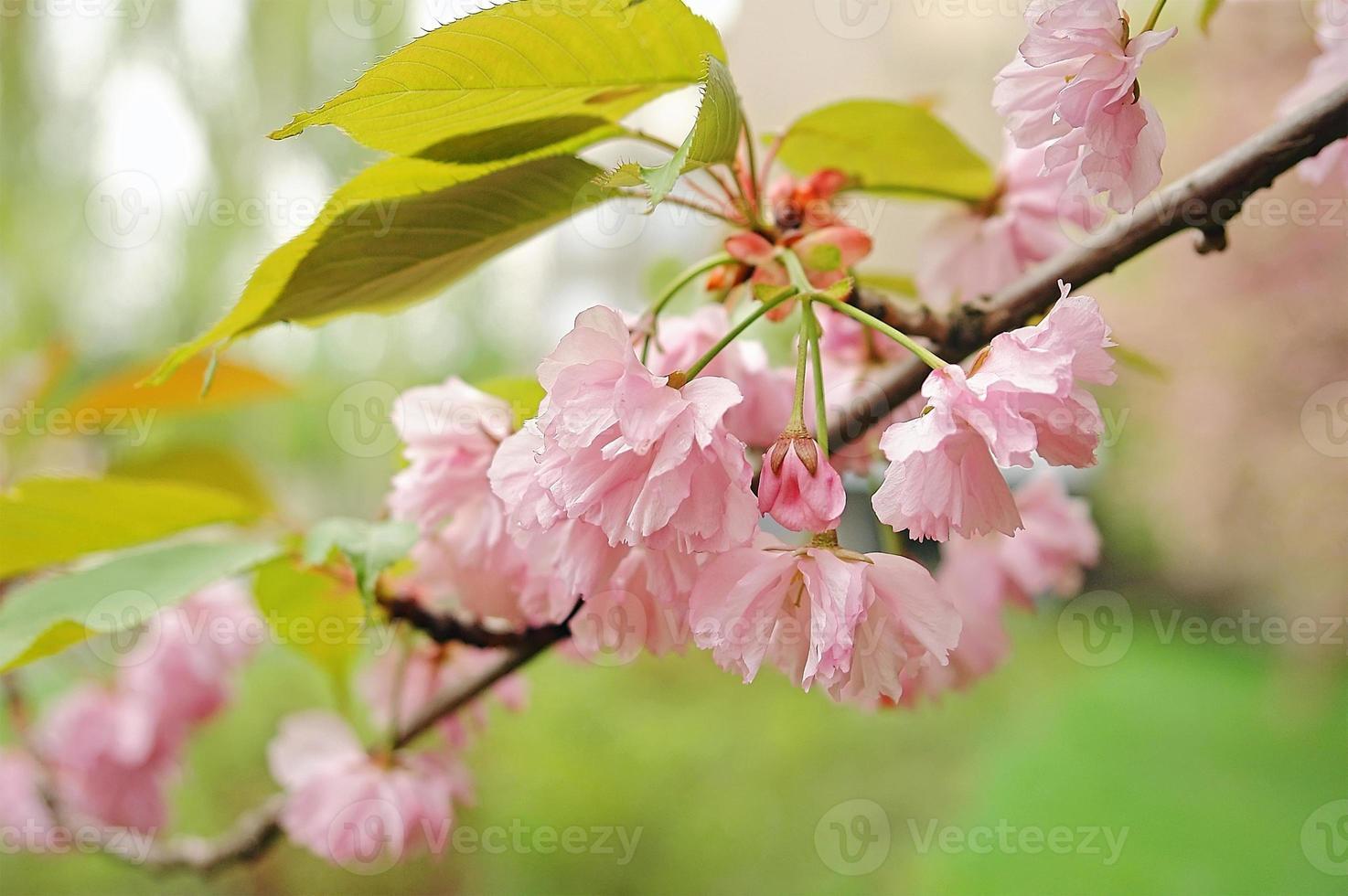 Sakura-Blüte foto