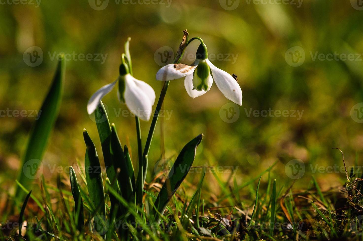 Schneeglöckchenblume in der Blüte foto