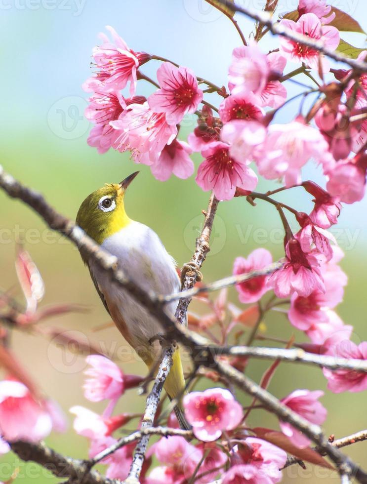 gelber Trällerervogel, der auf einem Kirschbaumzweig sitzt foto