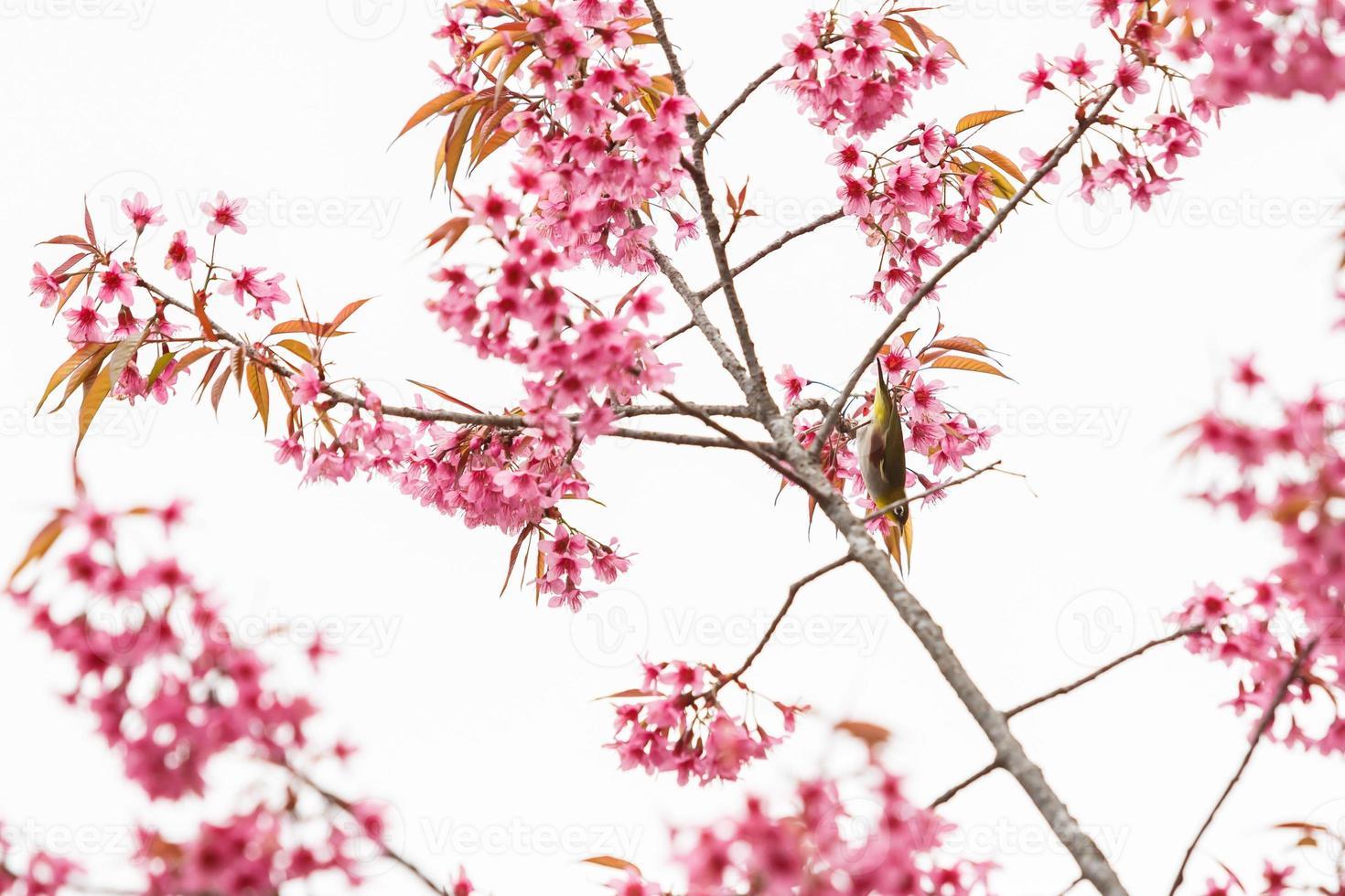 Vogel auf Kirschblüte und Sakura foto