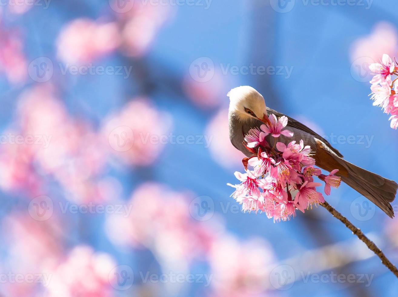 weißköpfiger Bulbulvogel auf Zweig Sakura foto