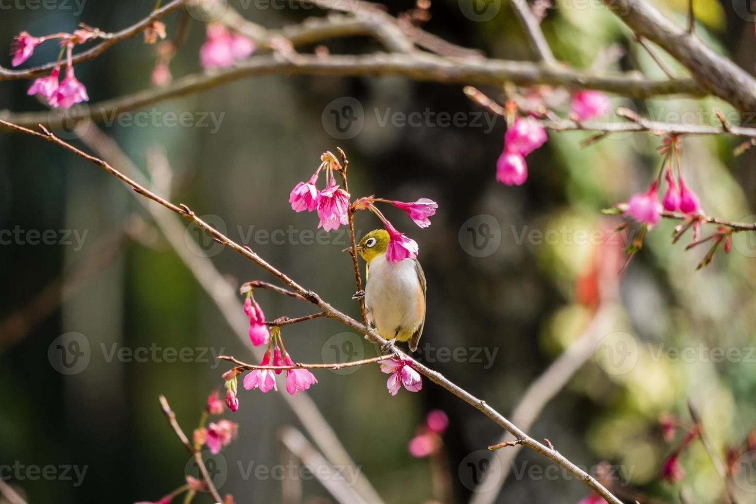 Weißaugenvogel auf Kirschblüte und Sakura foto