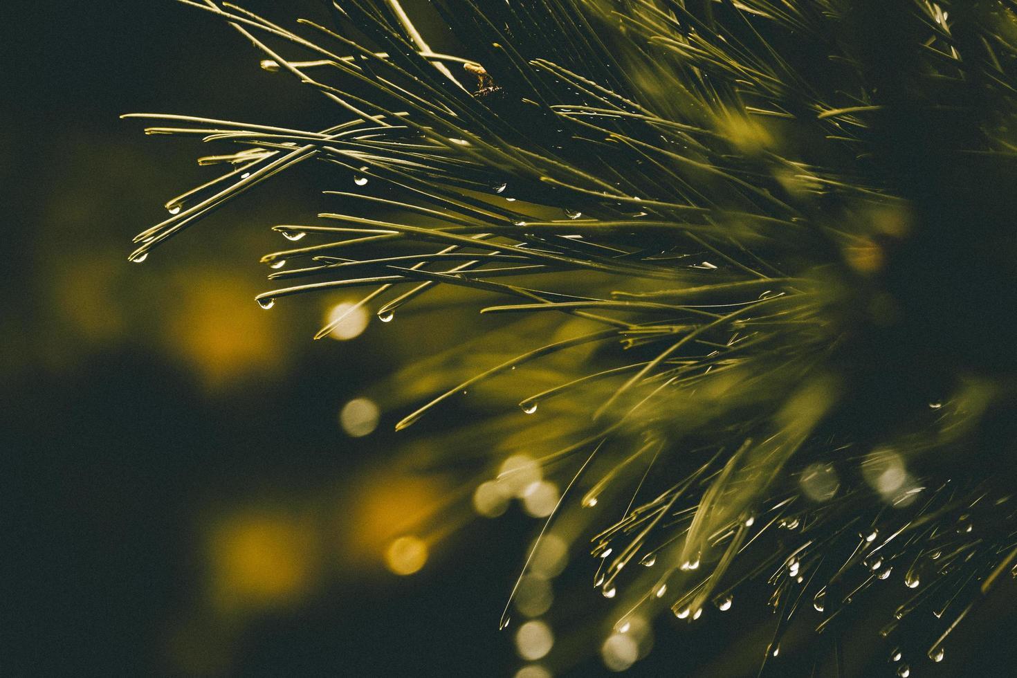 Tannennadeln und Regen foto