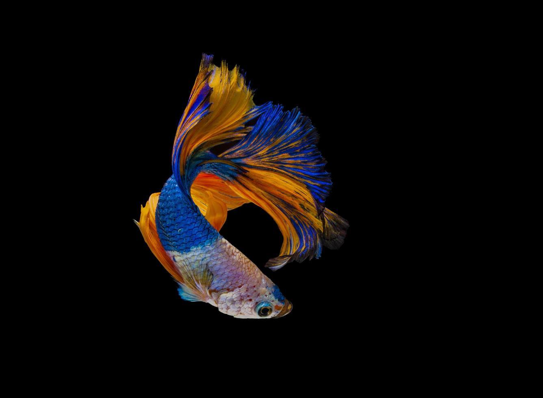 blauer und orange Betta Fisch auf schwarzem Hintergrund foto
