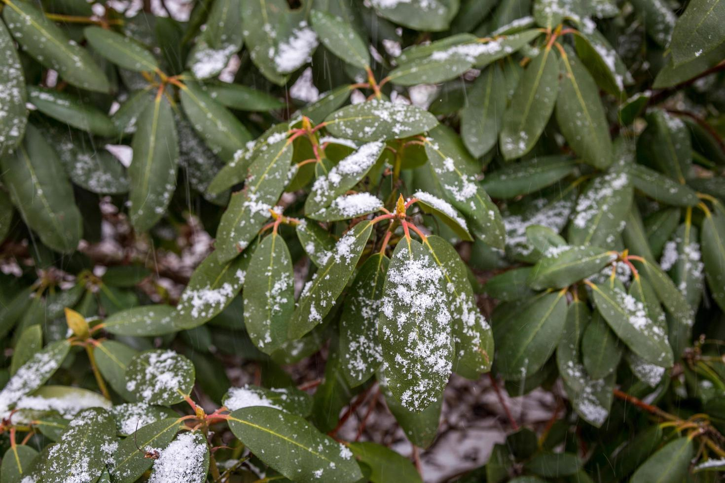 Nahaufnahme von Schnee auf Blättern foto