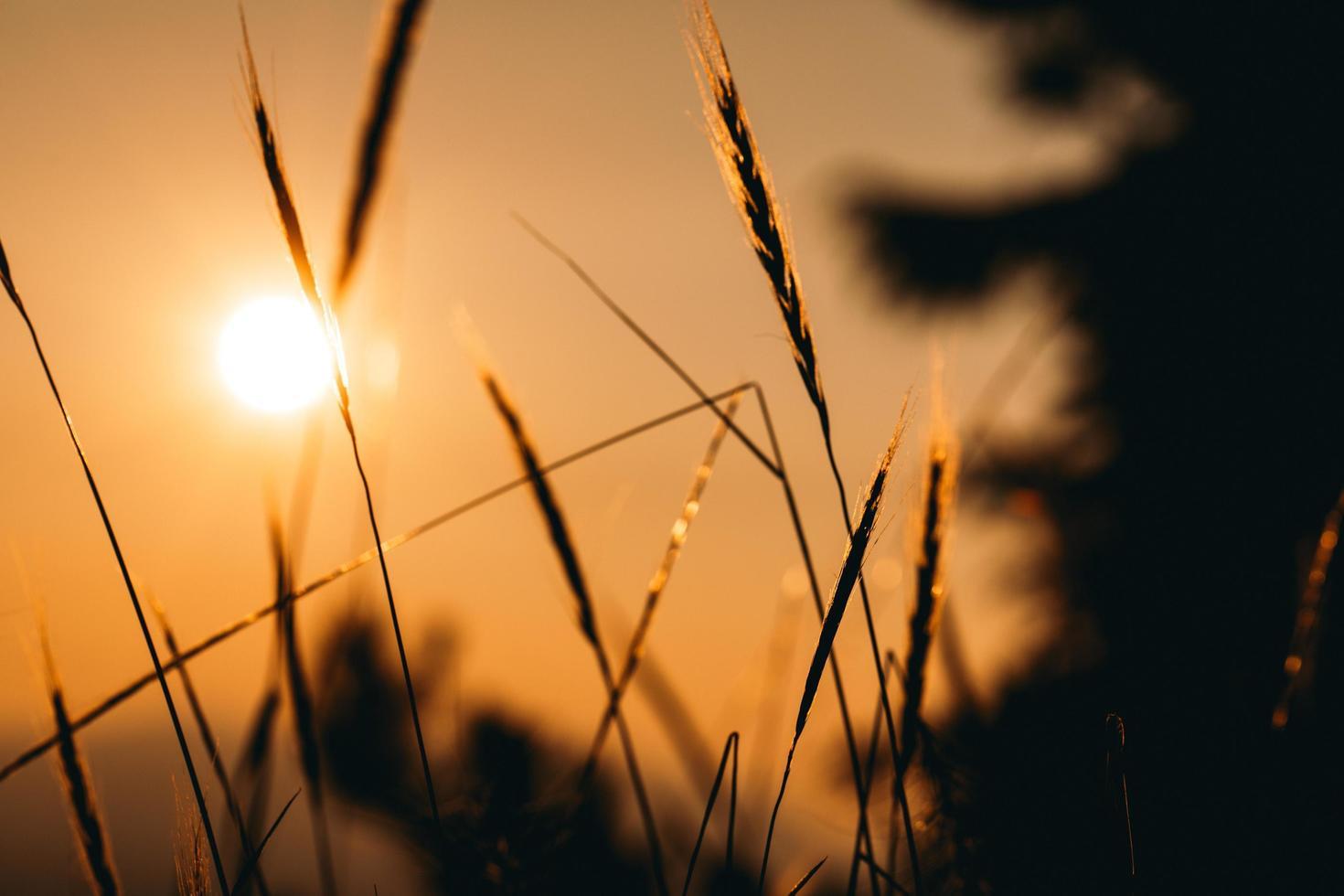 brauner Weizen während der goldenen Stunde foto