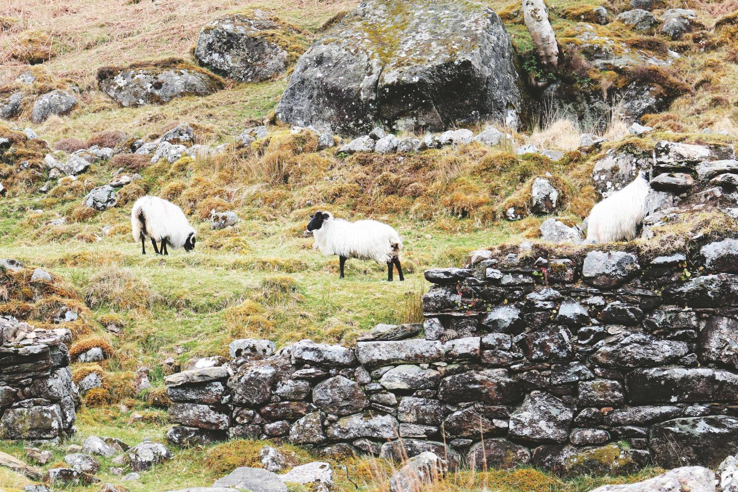 drei weiße Schafe, die nahe braunen Felsen stehen foto