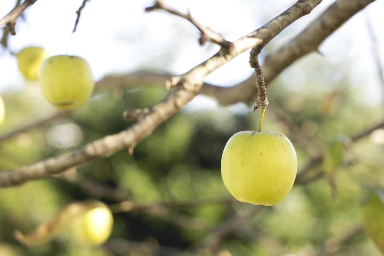 Nahaufnahme des grünen Apfels auf Baum foto