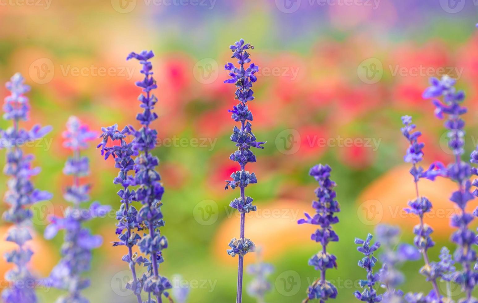 Lavendelblüten im Garten. foto