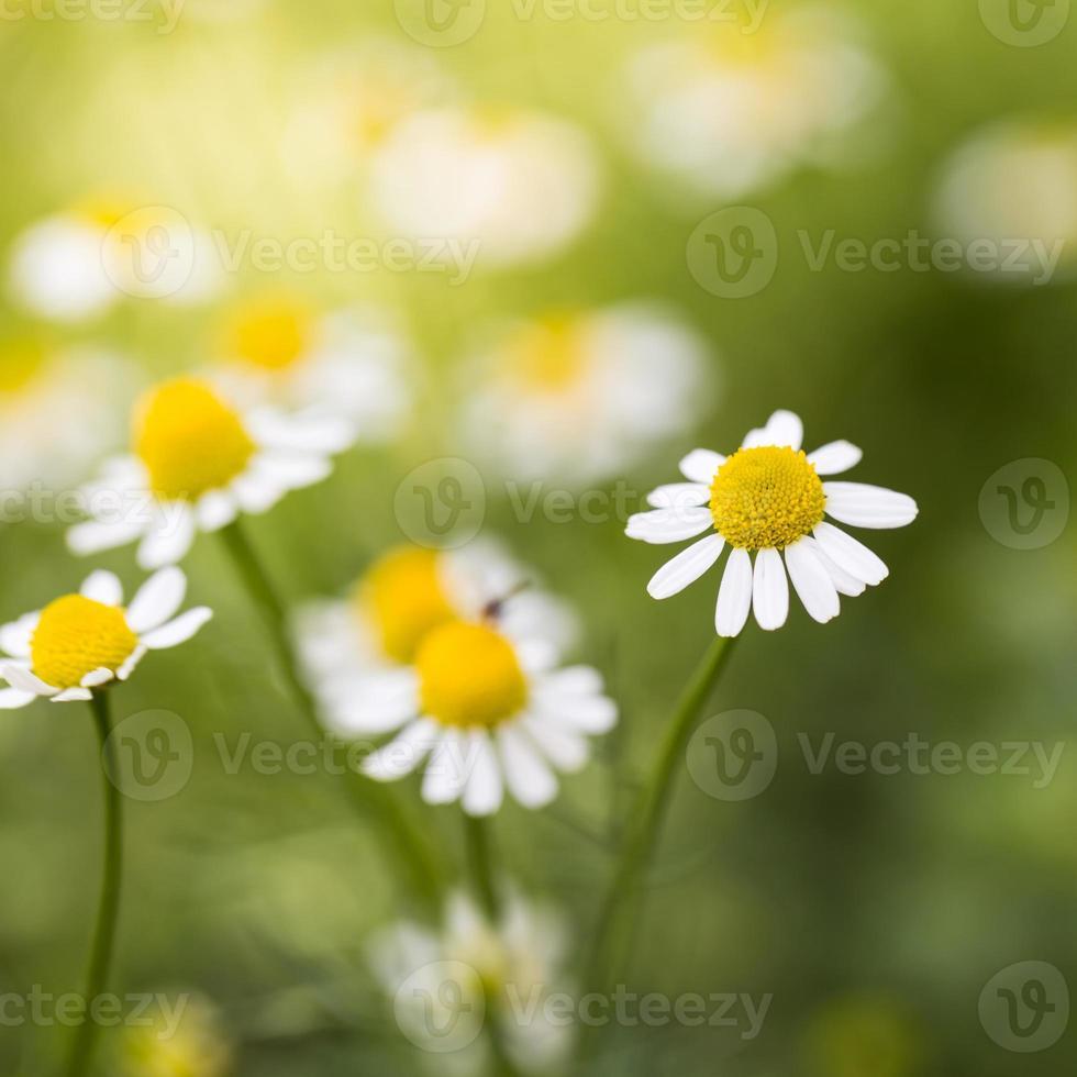 weiße Kamillenwiese foto