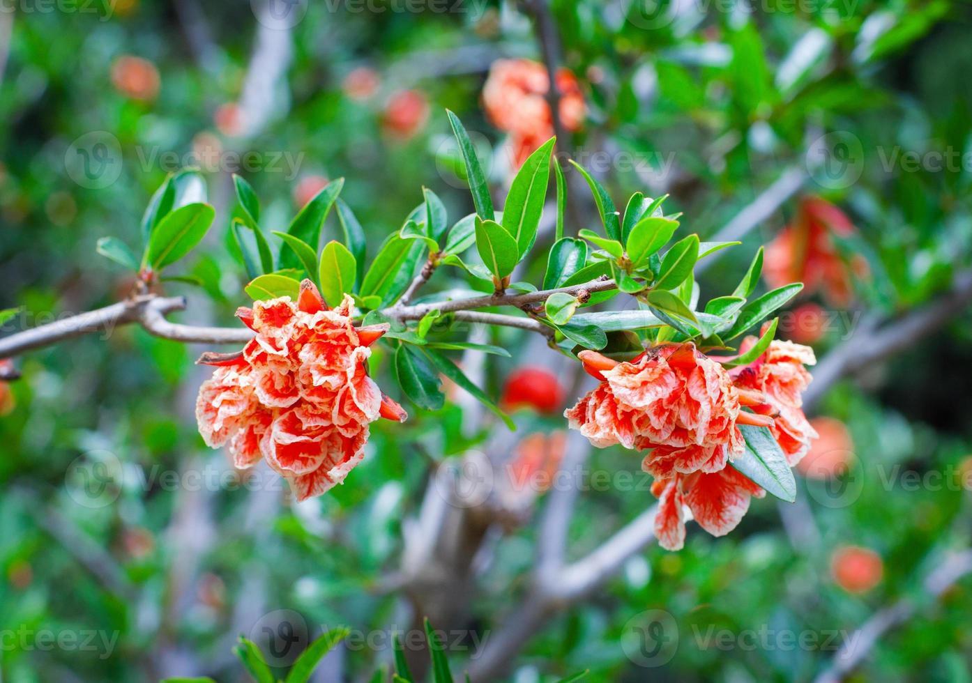 Granatapfelbaum Blumen foto