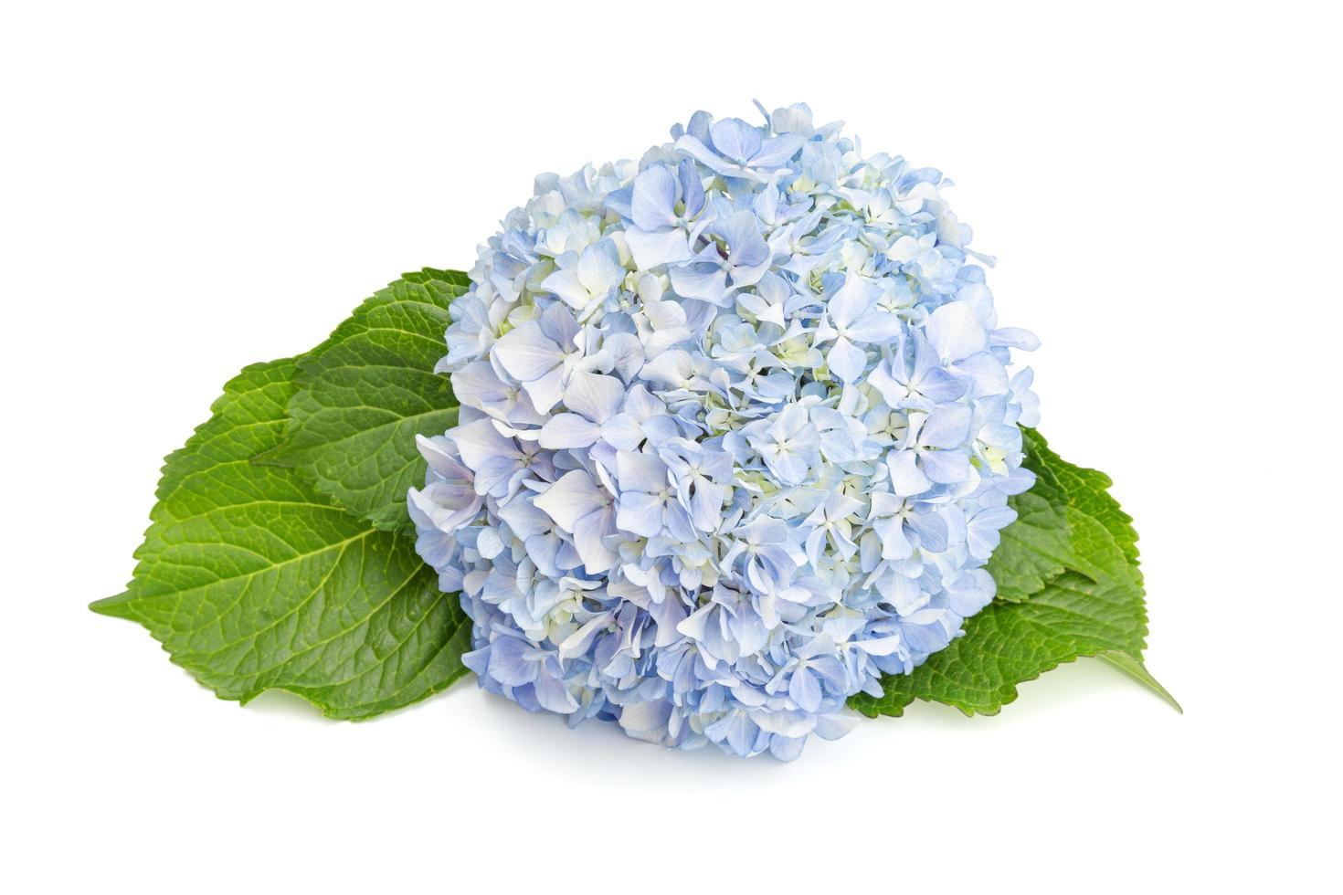 Hortensie und Blätter lokalisiert auf weißem Hintergrund foto