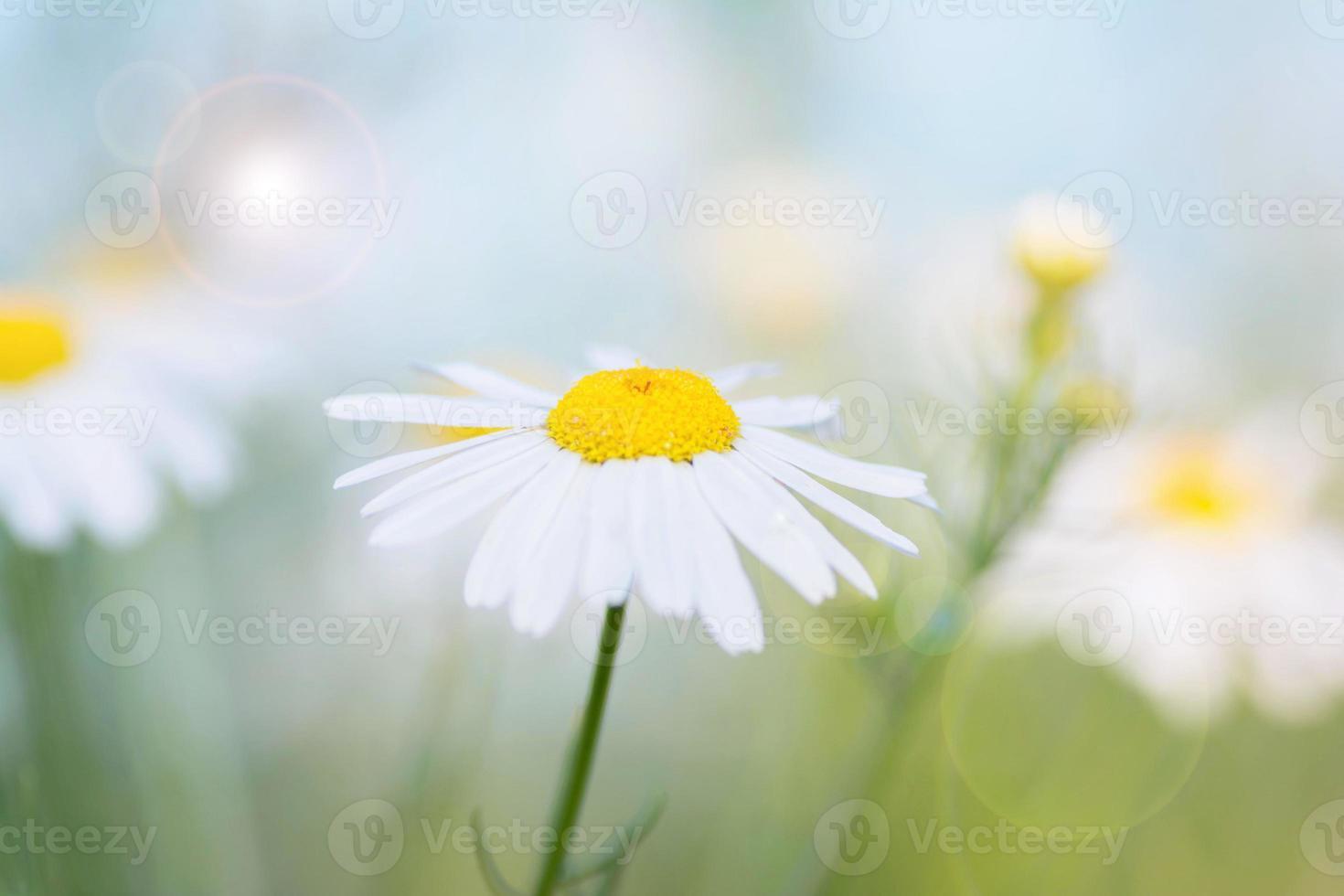 schöne Kamillenblume auf einem Sonnenlicht foto