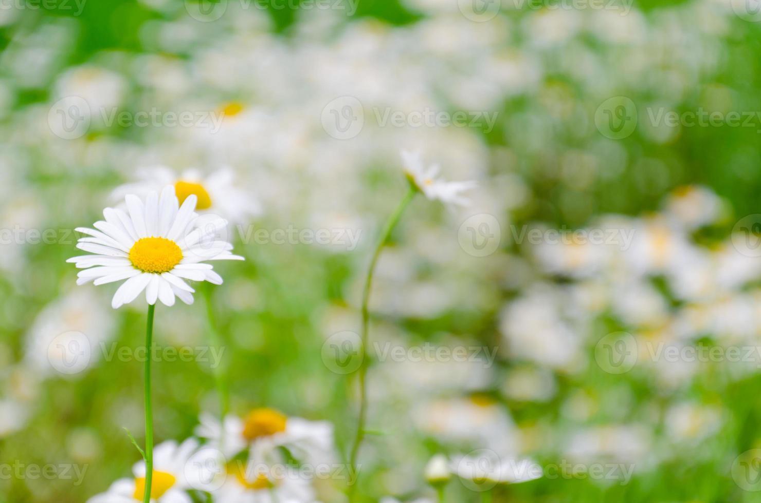 Feld des weißen Gänseblümchens foto