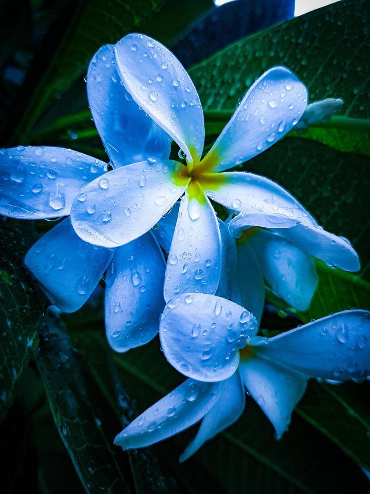 weiße Plumeria-Blume foto
